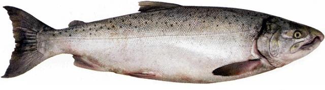 Рыбные биточки из кижуча